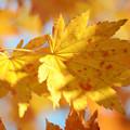 写真: 秋の彩(黄葉)