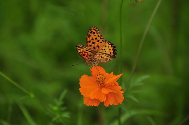 コスモスと蝶