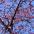 Photos: カンヒザクラが咲き始めました4