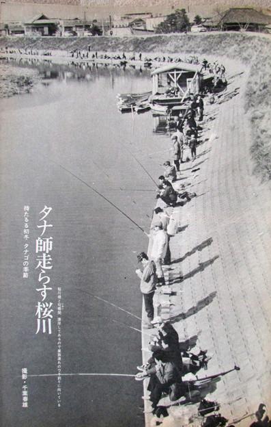 タナ師走らす桜川