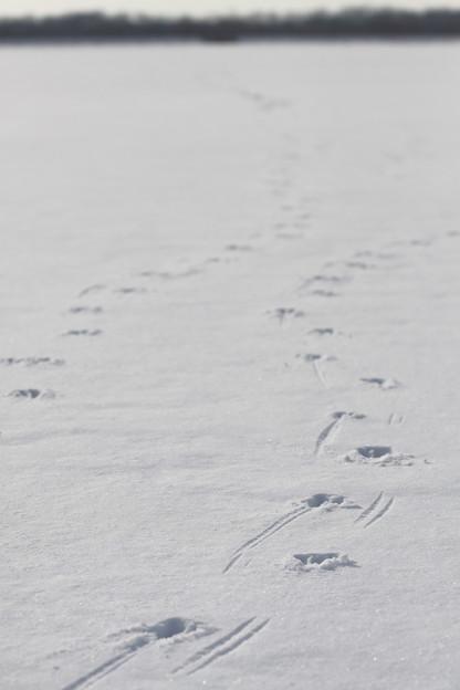 動物の足跡シリーズ(3)