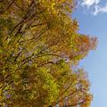 写真: 代々木の黄葉