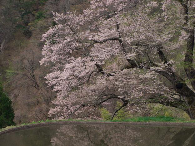 「駒つなぎの桜」…早朝は曇りで色がイマイチ