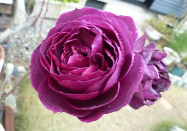 17-薔薇-0546