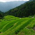 写真: 段々畑-夏-