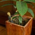 写真: これが、アボカドの木?