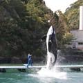 Photos: シャチのジャンプ