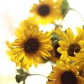 写真: Sun Flower