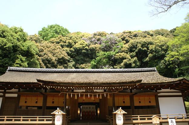 宇治上神社と山藤