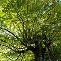 Photos: 銀杏の巨木