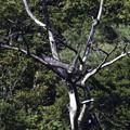 写真: クマタカYの枯れ木からの飛び出し