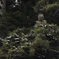 写真: 雪が残る森のクマタカ若