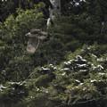 写真: 深い森へ消えるクマタカ若