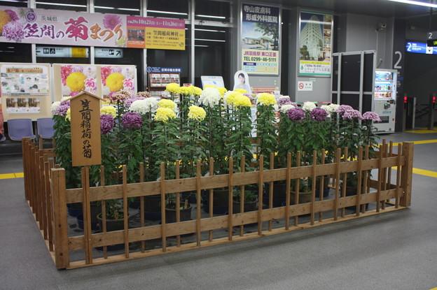笠間稲荷の菊展示