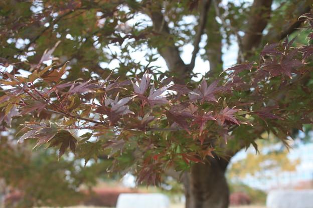 色づく紅葉 (1)