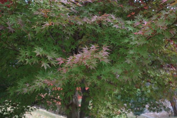 色づく紅葉 (5)