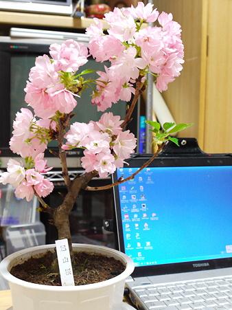 室内で桜が満開
