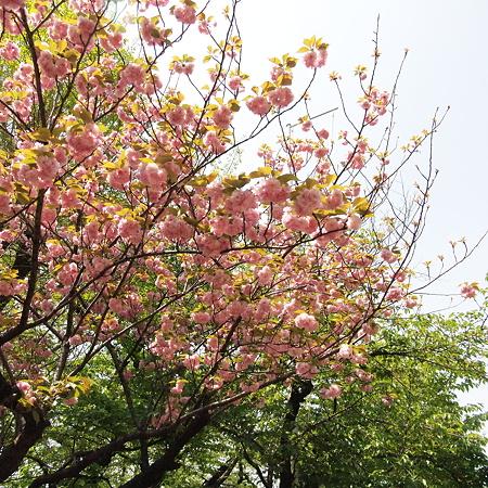 亀ヶ岡八幡宮の八重桜