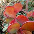 写真: 玉の緒紅葉