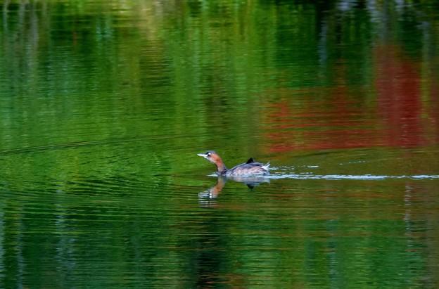 写真: 優雅に泳ぐ