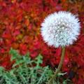 Photos: 紅葉とタンポポ2