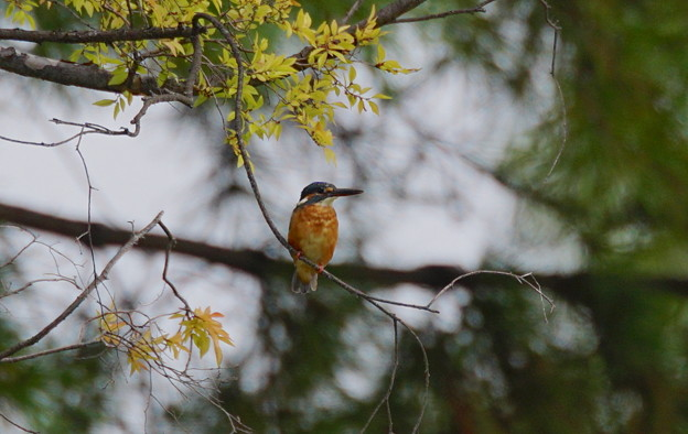 Kingfisher on his favourite branch