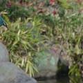 写真: 飛び込みへ 、、カワセミちゃん