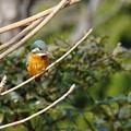 写真: Kingfisher on the lookout