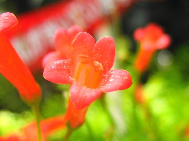 ハナチョウジの花拡大1