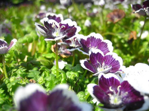 ネモフィラの花3