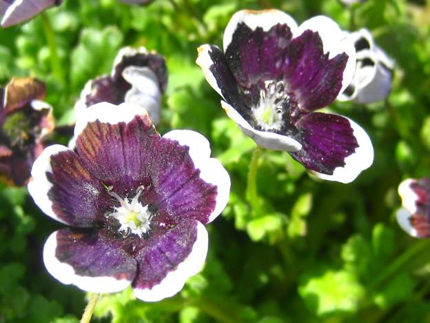 ネモフィラの花5