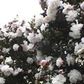 白の八重咲
