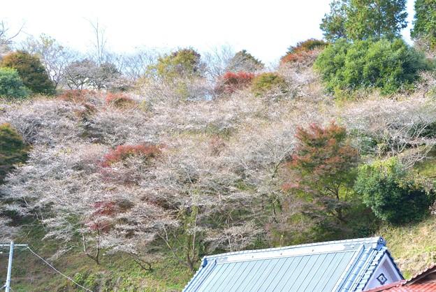 小原の四季桜~