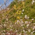 写真: 小原の四季桜~