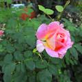 秋の薔薇~