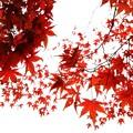 写真: 昭和記念公園の紅葉_2