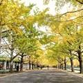 写真: 昭和記念公園のいちょう