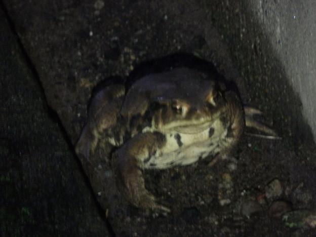 ゆっくりスローに動くカエル