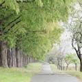 写真: マキノのメタセコイア並木