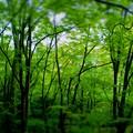嵐山嵯峨野の常寂光寺の緑もみじは他を軽く圧倒する