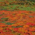 Photos: 紅葉の絨毯