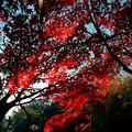 写真: 三渓園の赤