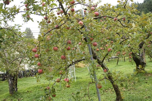 雨の中のリンゴ