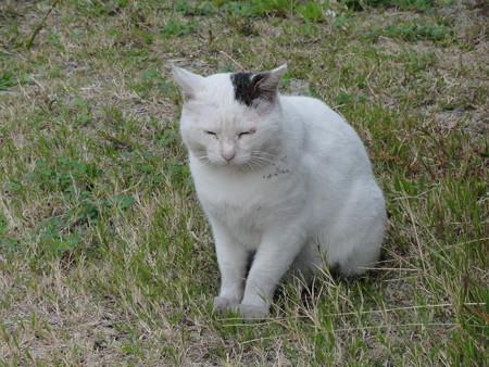 佐柳島の猫、第一猫