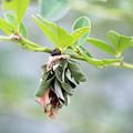 写真: ミノムシさん     萩の葉っぱを身にまとい