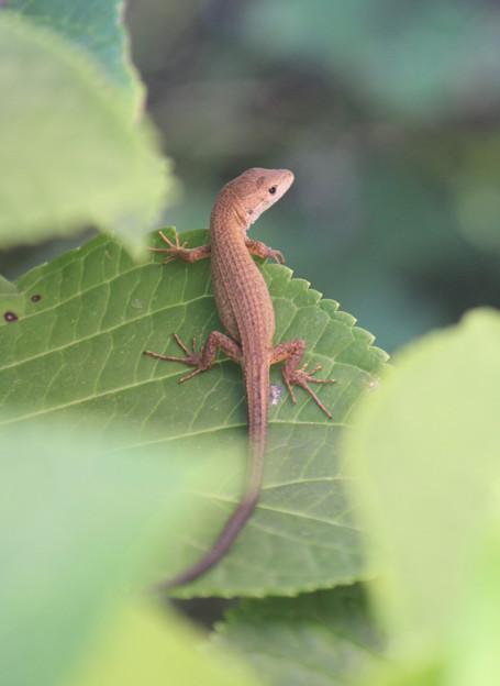 写真: カナヘビのおチビさん