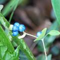 写真: イシミカワの青い実  やってきた ♪