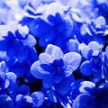 ブルーの主張/8月の紫陽花