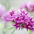 写真: やわらかく五裂星状花