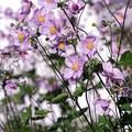 写真: 仲秋の庭/秋明菊ざわめく